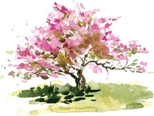 cherry blossom |