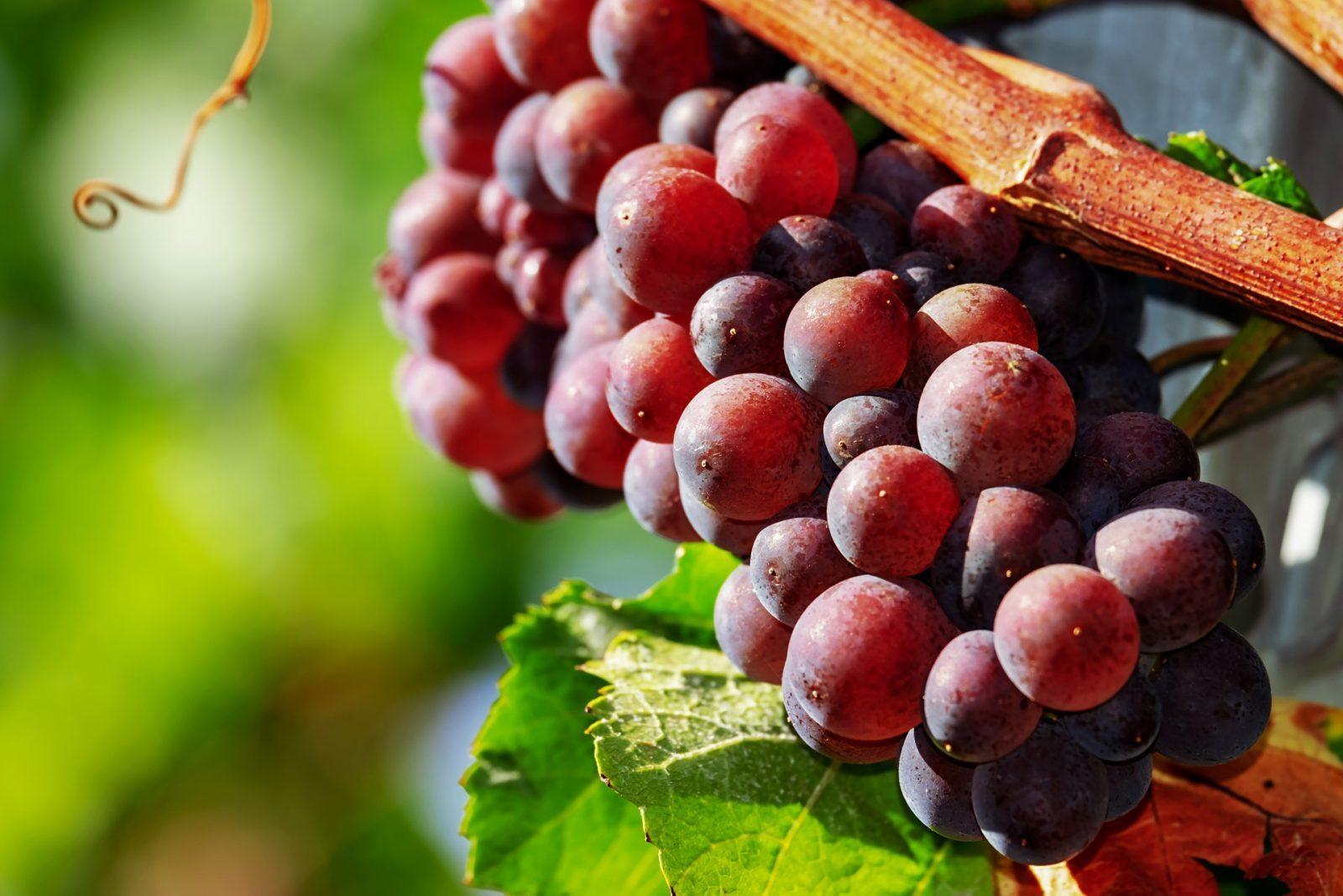 wine harvest |