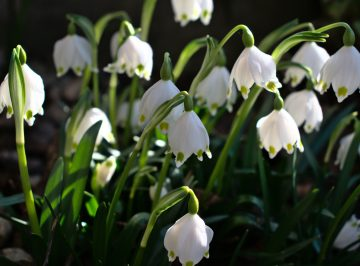 lily-of-the-valley-6112557_1920